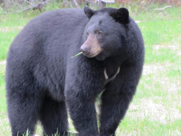 nằm mơ thấy con gấu đánh con gì?