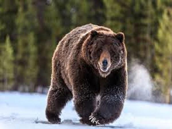 Mơ thấy con gấu có điềm báo gì? đánh số nào?