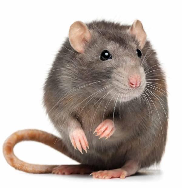 Giải mã giấc mơ thấy con chuột