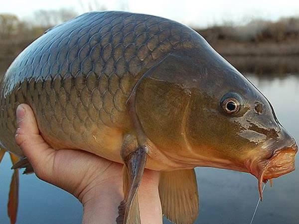Nằm mơ thấy cá chép điềm báo gì, lành hay dữ?